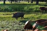 Herding Pig